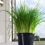 planta de cebollino
