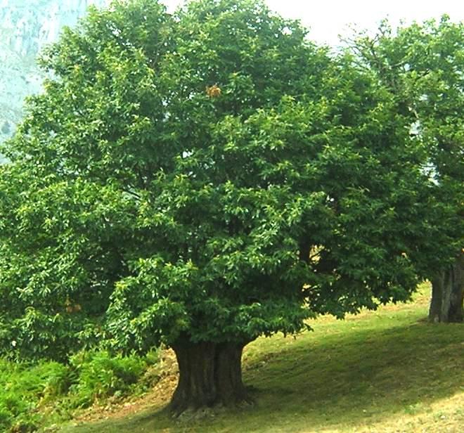 Qu rboles sembrar en casa casas ecol gicas for Tipos de pinos para jardin fotos